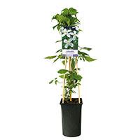 Klätterväxxt Clematis 'Grandiflora'