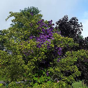 Storblommig klematis klänger i ett träd