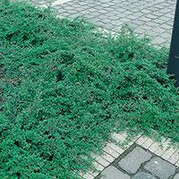 Krypoxbär 'Skogholm',  Cotoneaster suecicus Skogholm