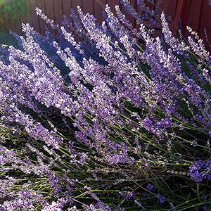 Lavendel 'Munsteadä'