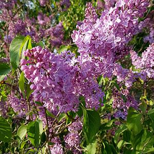 Lila blommor på syren