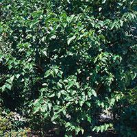 Mullbärsträd