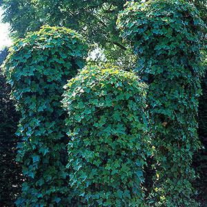 Murgröna Hedera helix