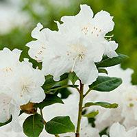 Närbild blomma Rhododendron 'Dora Amateis'