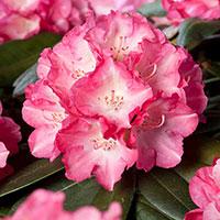 Närbild på blomma Rhododendron 'Fantastica'
