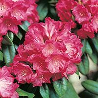 Närbild blomma Rhododendron 'Morgonrot'