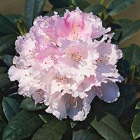 Närbild på blomma Rhododendron 'Silberwolke'