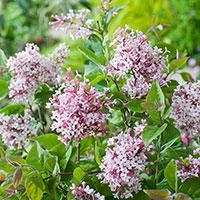 Närbild på blomma småbladig syren 'superba'