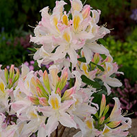 Närbild på blomma Trädgårdsazalea 'Irene Koster'