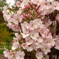 Närbild på blommor av japanskt prydnadskörsbär 'Ama-no-gawa'
