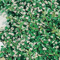 Närbild på blommor på krypoxbär 'Skogholm'