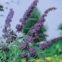 Närbild på blommor buddleja 'Nanho Blue'