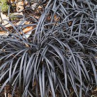 Prydnadsgräs Ophiopogon 'Niger'