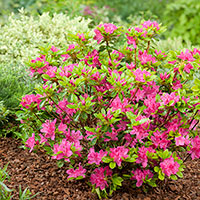 Rhododendron 'Kermesina' (Japansk azalea)