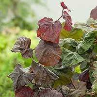 Rödbladig ormhassel 'Red Majestic'