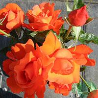 Storblommig ros, Rosa 'Alexander'