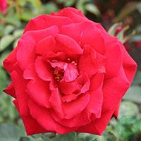 Storblommig ros, Rosa 'Erotika'