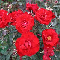 Flerblommig buskros, Rosa 'H.C. Andersen'