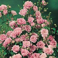 Marktäckande ros, Rosa 'The Fairy'