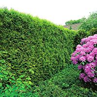 Smaragdtjua i häckplantering