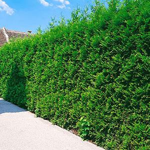 Thuja occidentalis 'Brabant, häckväxt