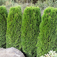 Smaragdtuja planterad i rad