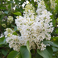 Vanlig syren 'Alba',  Syringa vulgaris Alba