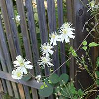 Vita blommor på skogsklematis Paul Farges