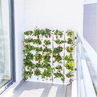 Jordgubbsodlings på balkongen i växtvägg Minigarden Vertical