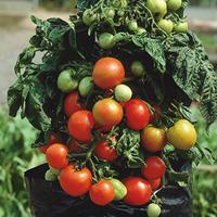 Tomatfrö till körsbärstomaten Balkonzauber