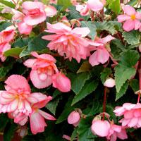 Fröer till Knölbegonia 'Chanson H Bicolour Pink and White'
