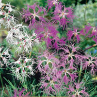 Fröer till Praktnejlika, Dianthus superbus 'Spooky'