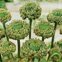 Fröer till Opiumvallmo Viola x wittrockiana 'Hen & Chickens'