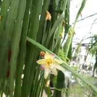 Lepismium bolvianum hängande kaktus