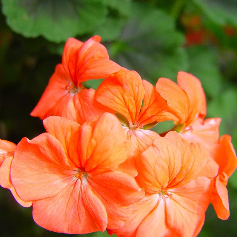 Zonalpelargon 'Antik Orange'