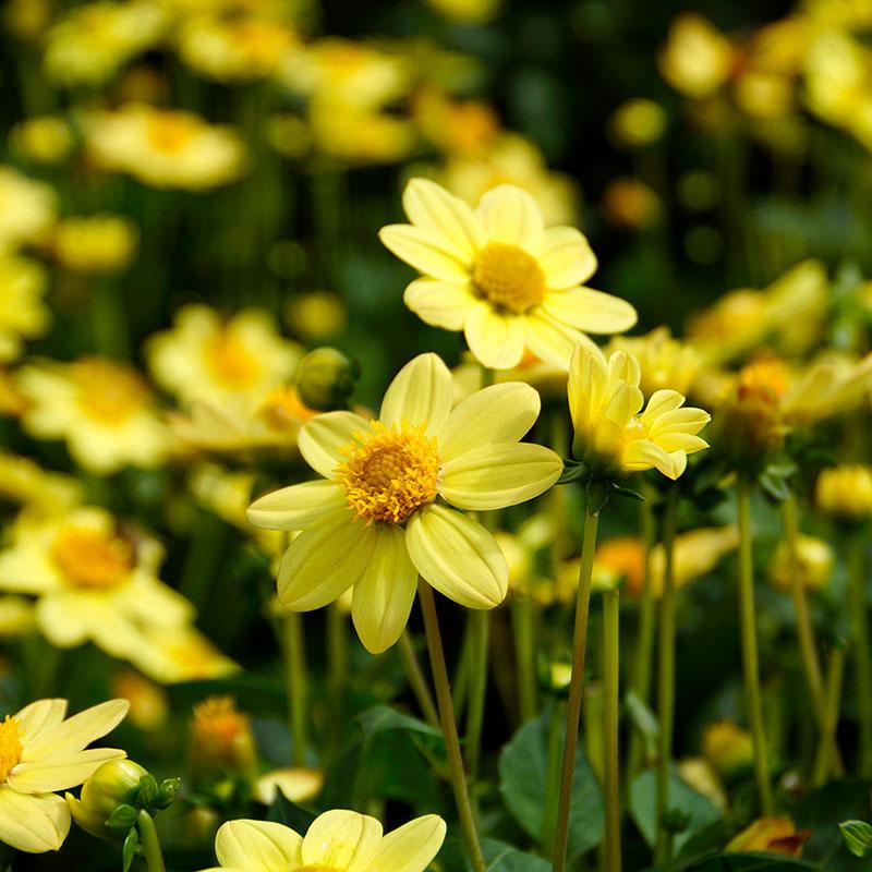 Knöl till Enkelblommande dahlia 'Topmix Yellow'