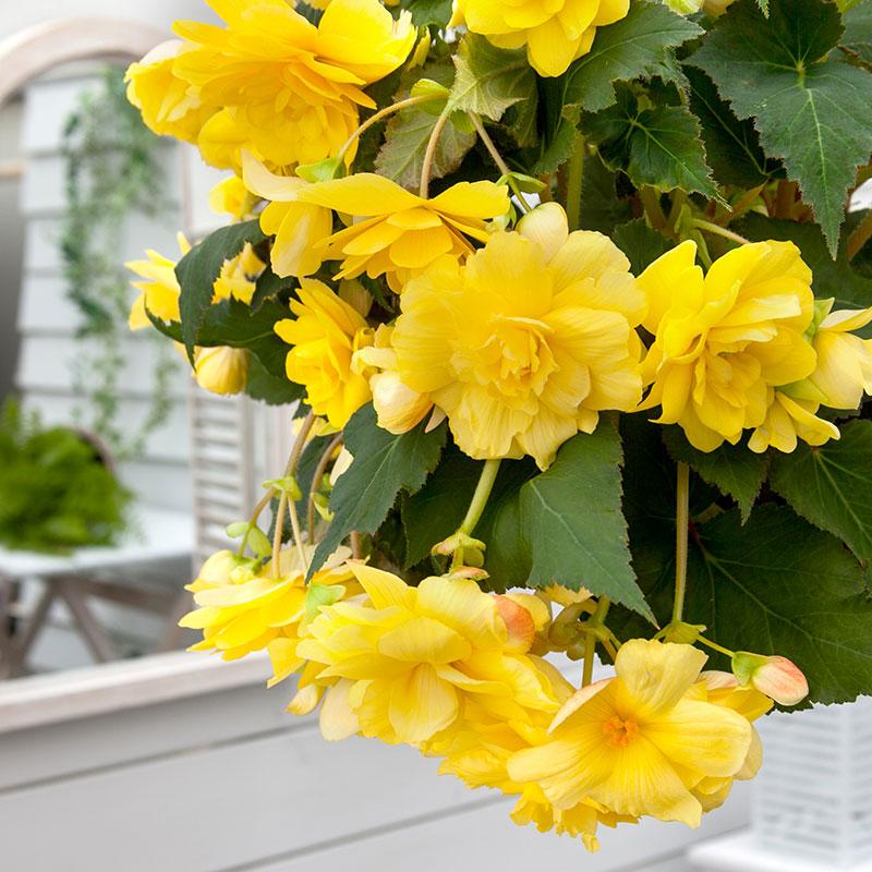 Knöl till Hängbegonia 'Yellow'