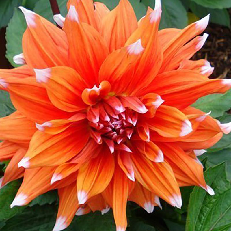 Knöl till Kaktusdahlia 'Colour Spectacle'