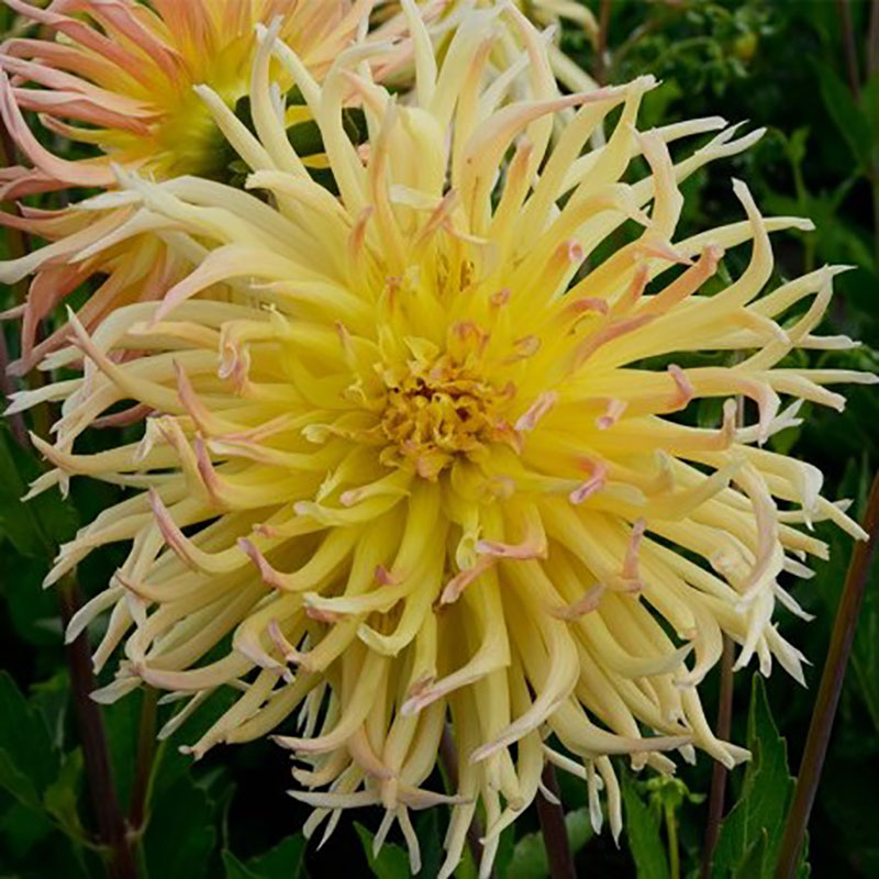 Knöl till Kaktusdahlia 'Star Spectacle'