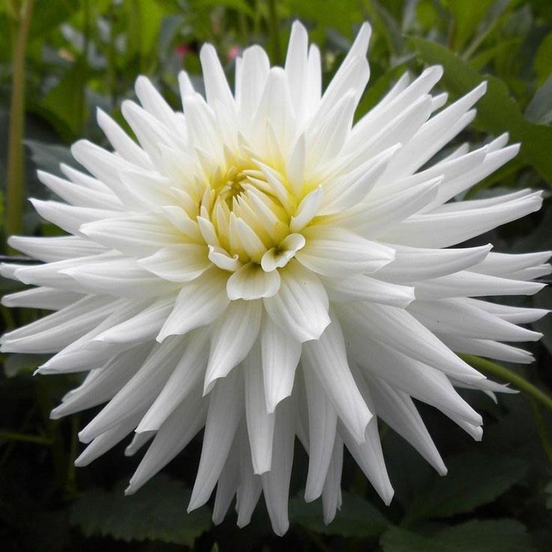 Knöl till Kaktusdahlia 'White Happiness'