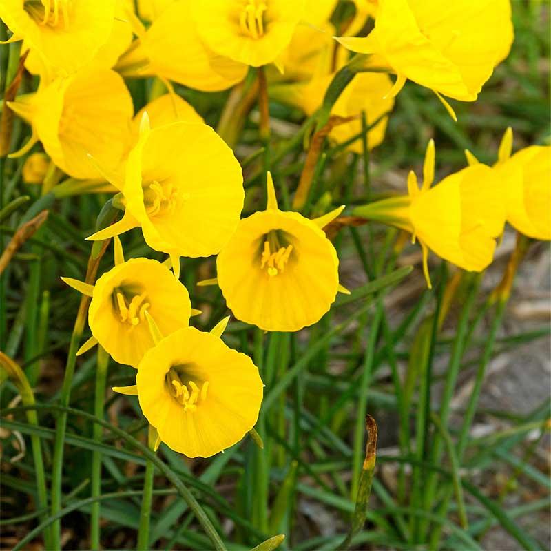 Krinolinnarciss 'Oxford Gold'
