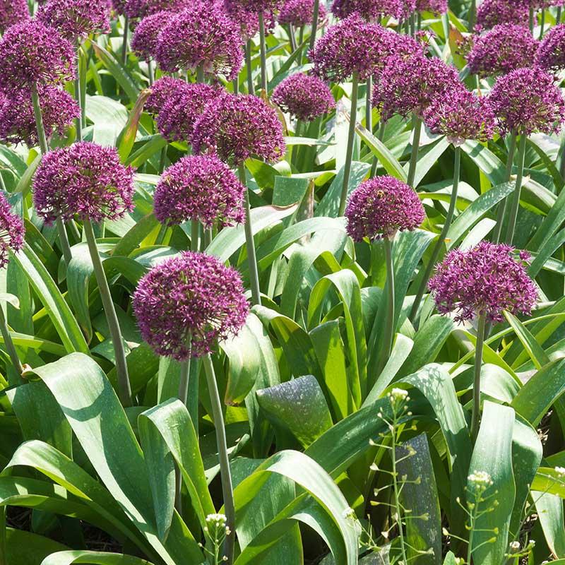 Alliumlökar, Allium 'Ostara'