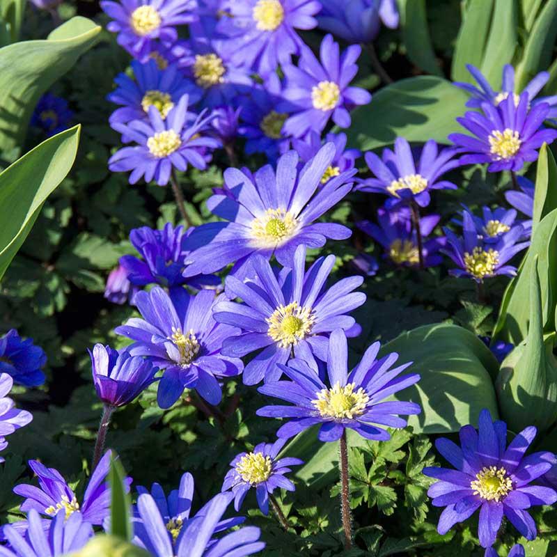 Balkansippa 'Blue Shade' - Blomsterlök för höstplantering