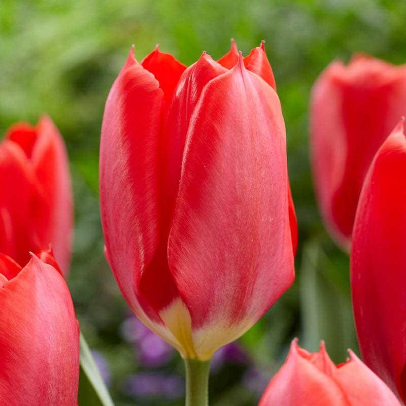 Tulpan 'Red Emperor' - Blomsterlök för höstplantering