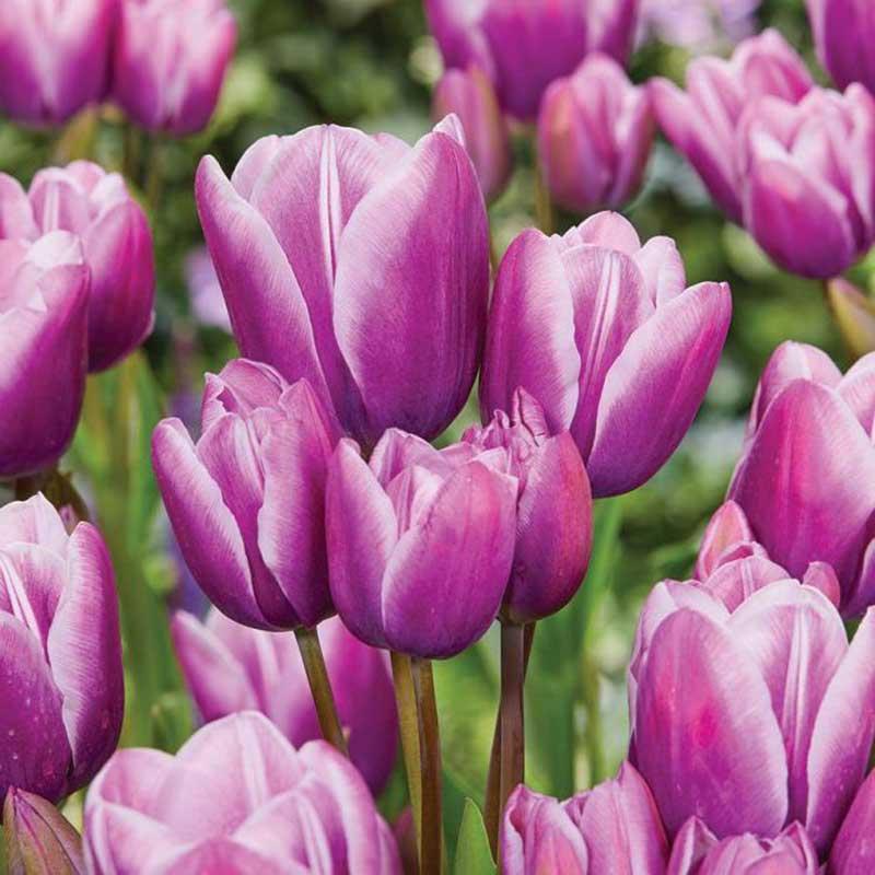 Tulpan, -multiflora 'Purple Elegance' - Köp blomsterlök