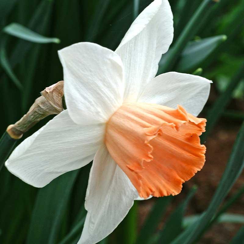 Narciss 'Accent - Blomsterlök för höstplantering