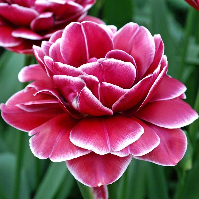 Tulpan 'Dream Touch' - Blomterlök för höstplantering