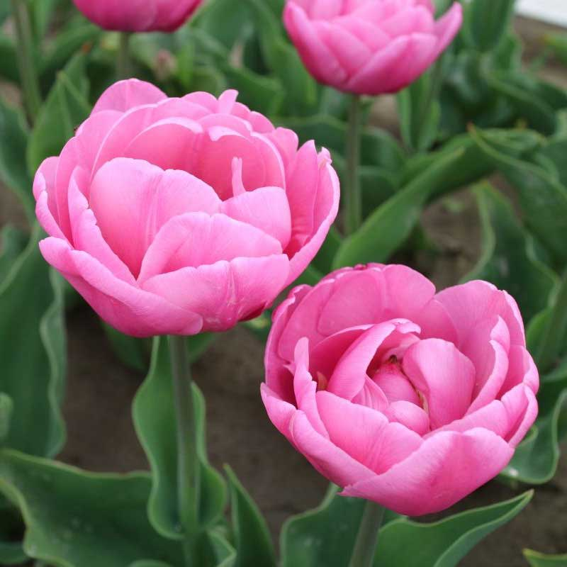 Tulpan 'Tabledance' - Blomsterlök för höstplantering