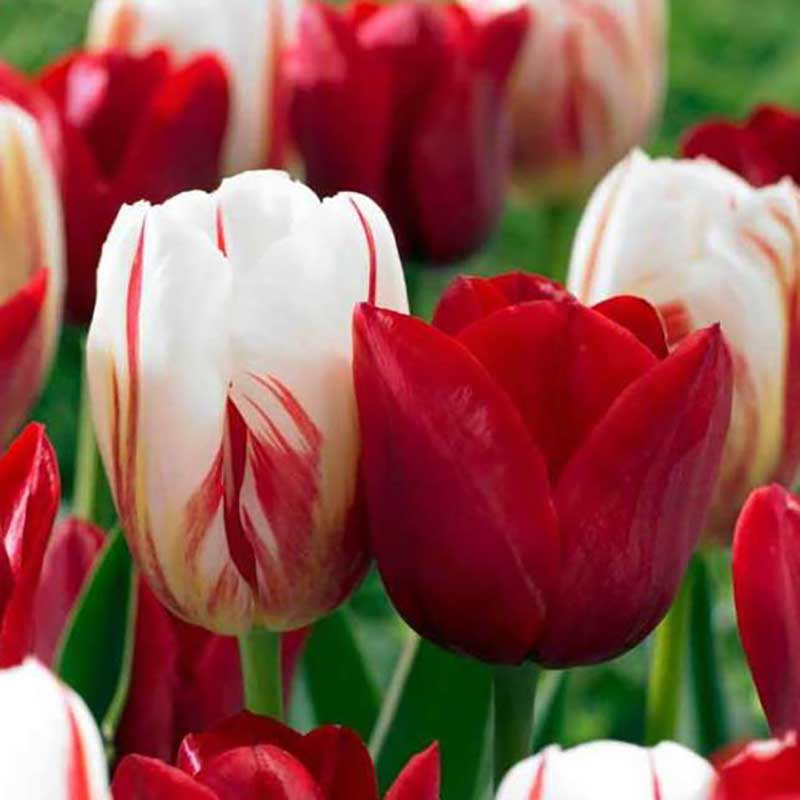 Tulpanlökar Love Circles - Lökmix för höstplantering