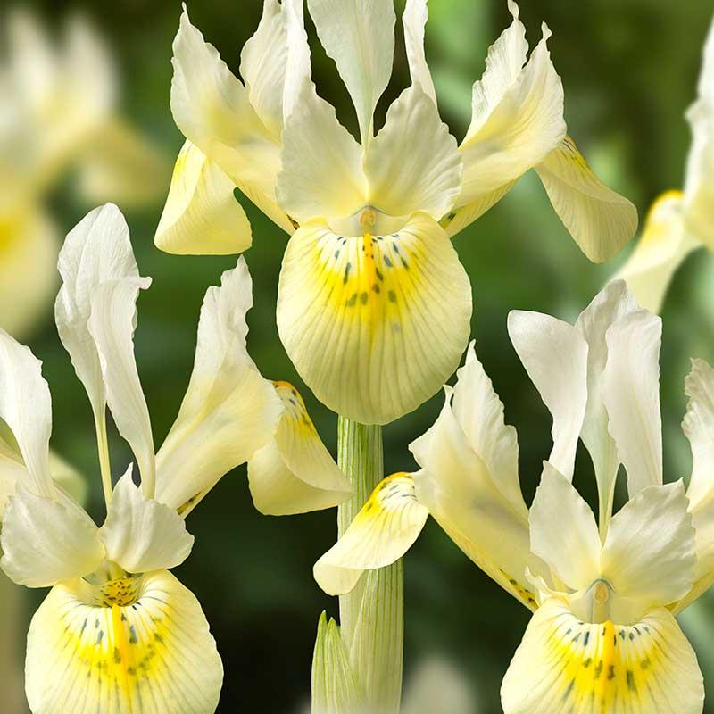 Iris, -vår 'Katharines Gold' - Blomsterlök för höstplantering